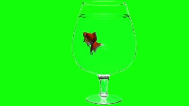 Chroma Key Effect Animal Footage. Aquarium with Fish on Green Screen. Keyin Click