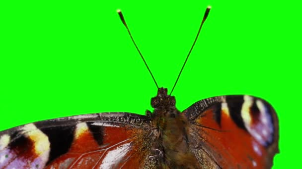 Chroma Key Effect Animal Footage Butterfly Green Screen Keying Click