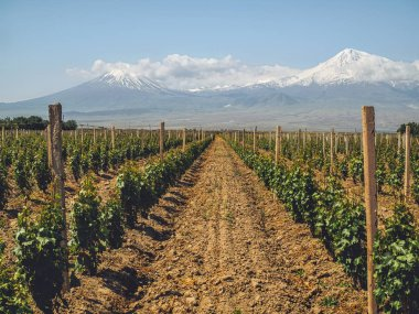 rows of bushes on agriculture field with mountains on background, Armenia