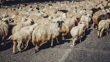 Herd of adorable white sheep walking on road, Armenia stock vector