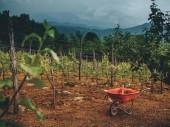 krásné vinice, zamračenou oblohou a vozík na zem v Gruzii