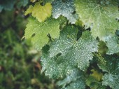 Fotografie vine leaves with white dots in vineyard in georgia