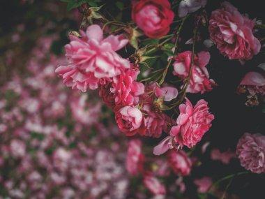 Selective focus of beautiful pink roses in garden in georgia stock vector