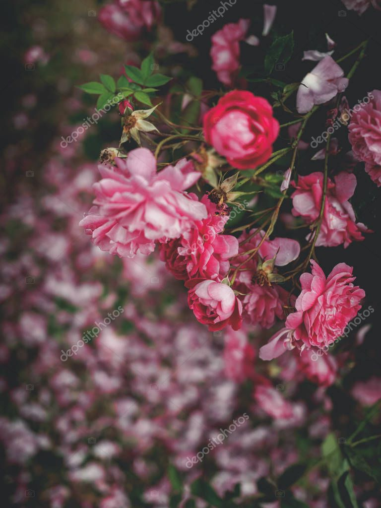 beautiful pink roses in garden in georgia