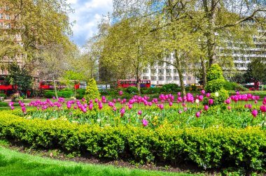 Spring tulips in one of London gardens, UK