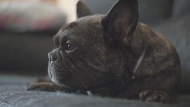 Kutya francia bulldog színes fekete cirmos