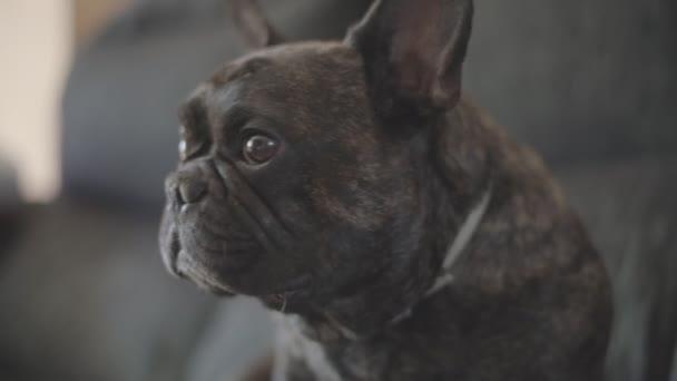 Dog French bulldog colored black tabby