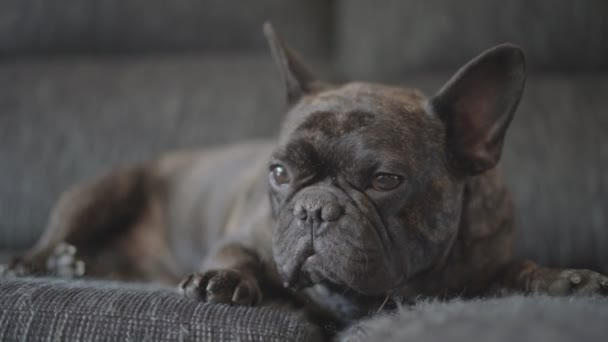 Pies Buldog Francuski Kolorowe Czarny Pręgowany Wideo Stockowe