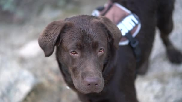 Pretty brown labrador dog playing.