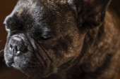 Francia bulldog kutya részlete