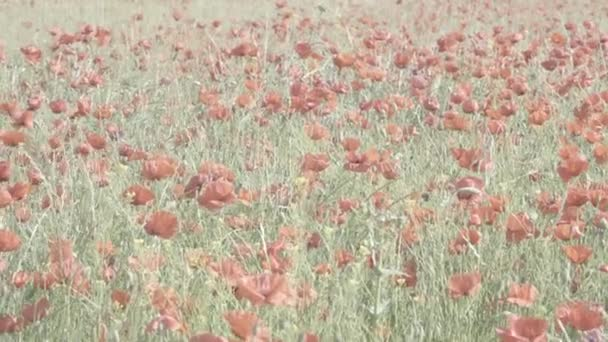 Spring green field of red poppies.