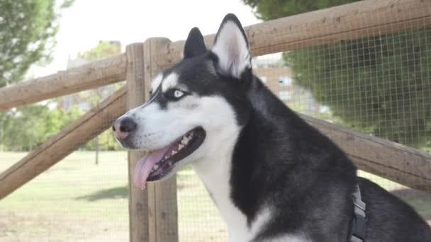 Blízký sibiřský Huský pes v oblasti domácích psů