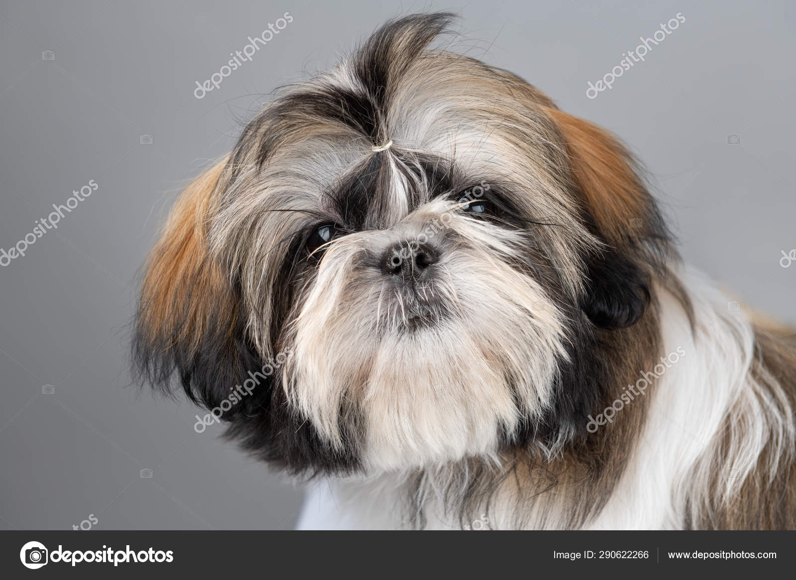 Face Portrait Funny Shi Tzu Puppy Dog Head Four Month Stock Photo C Tagasiapril 290622266