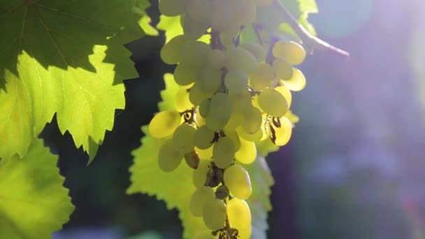 bunches of grapes on a vine in the sunlight