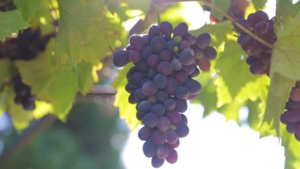 szőlőfürtök egy szőlőt a napfényben