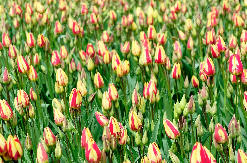 Close up photo of field of bi-colored tulips with closed petals