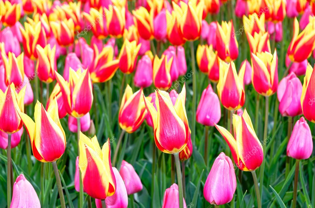 Field of bi-colored tulips as a close-up photo