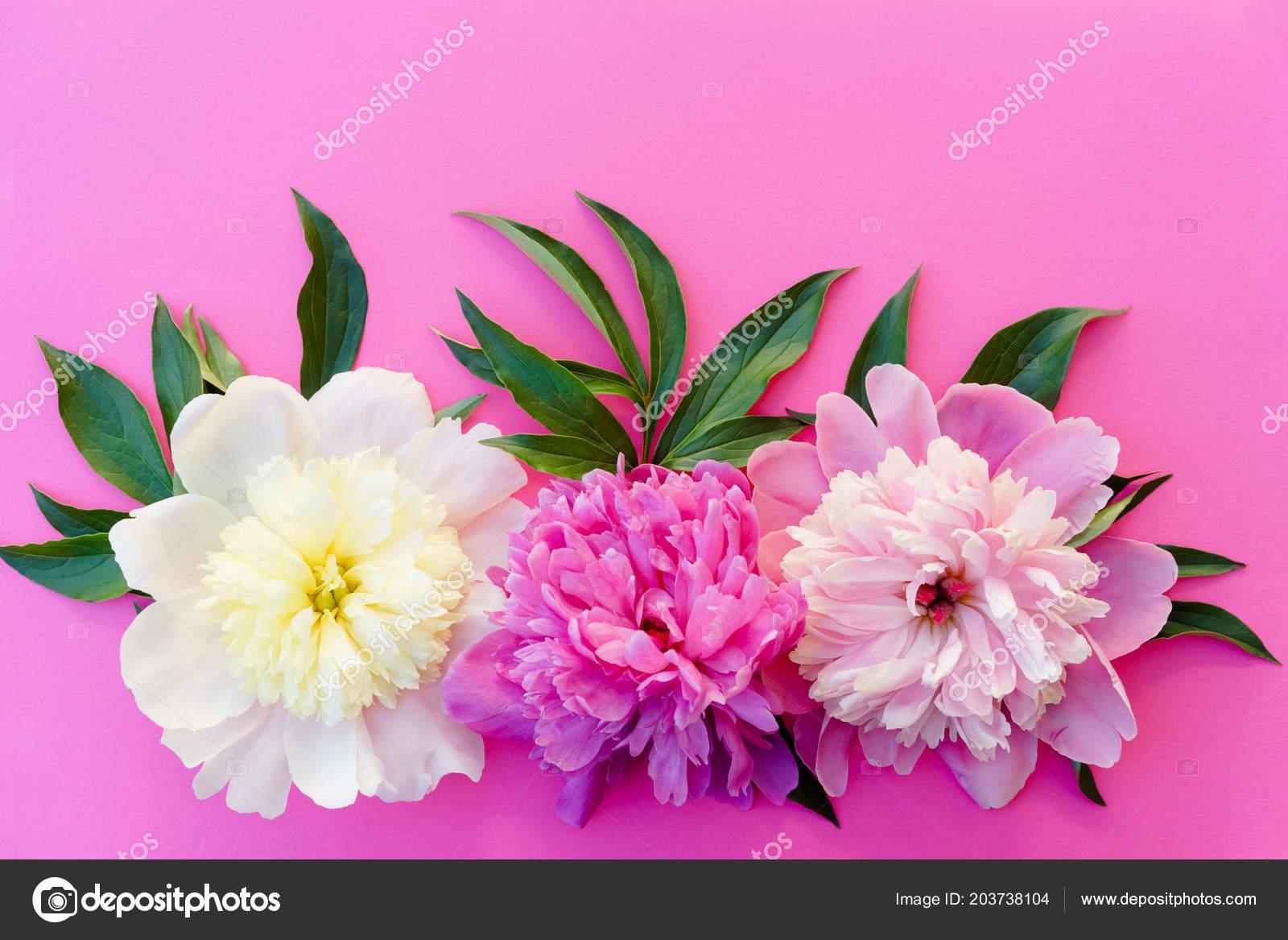Three peony flowers cream pink purple leaves bright pink background three peony flowers cream pink purple leaves bright pink background stock photo mightylinksfo