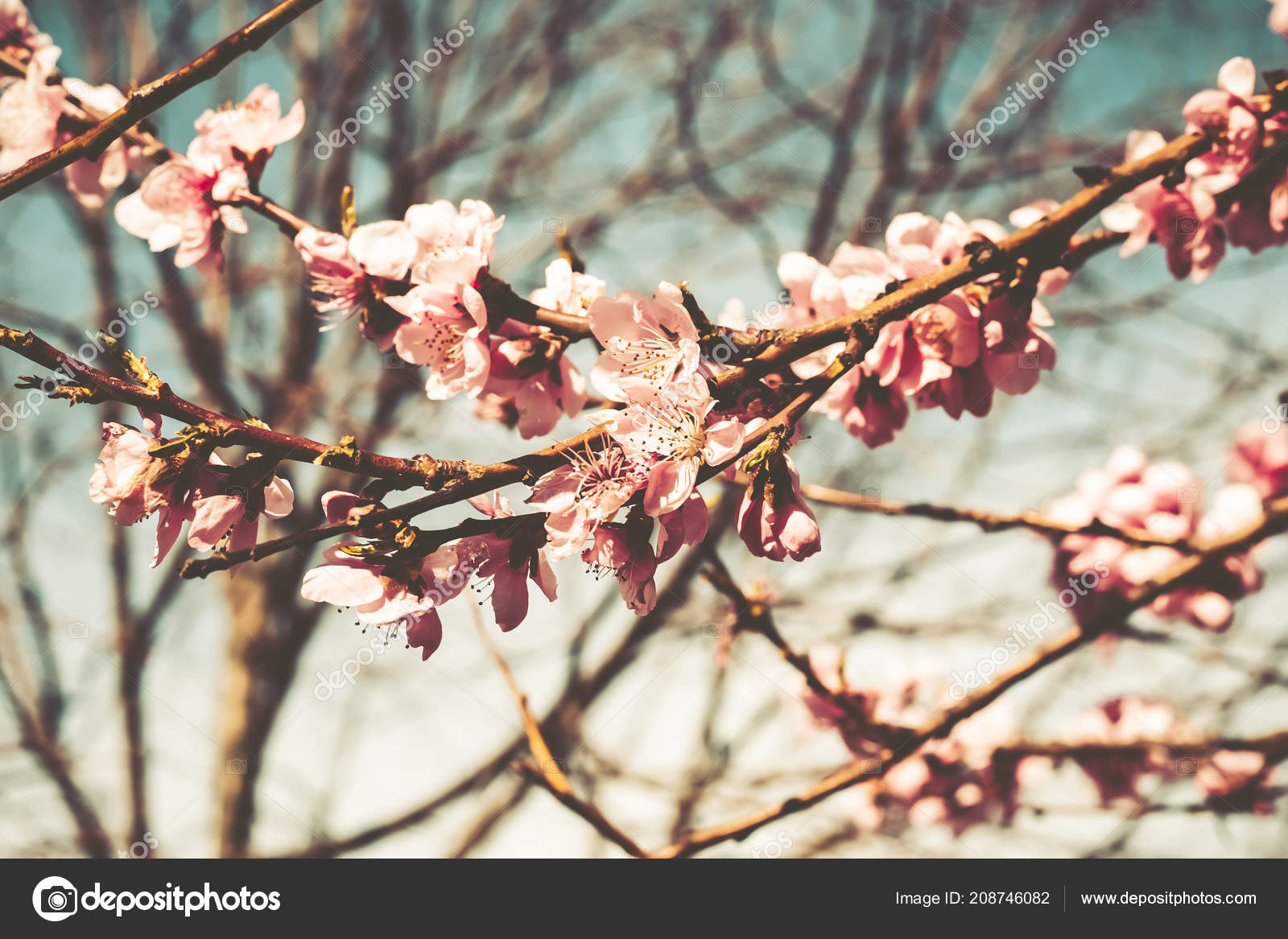 Cherry tree branch bud in bloom background as a beautiful spring cherry tree branch bud in bloom background as a beautiful spring flower stock photo mightylinksfo