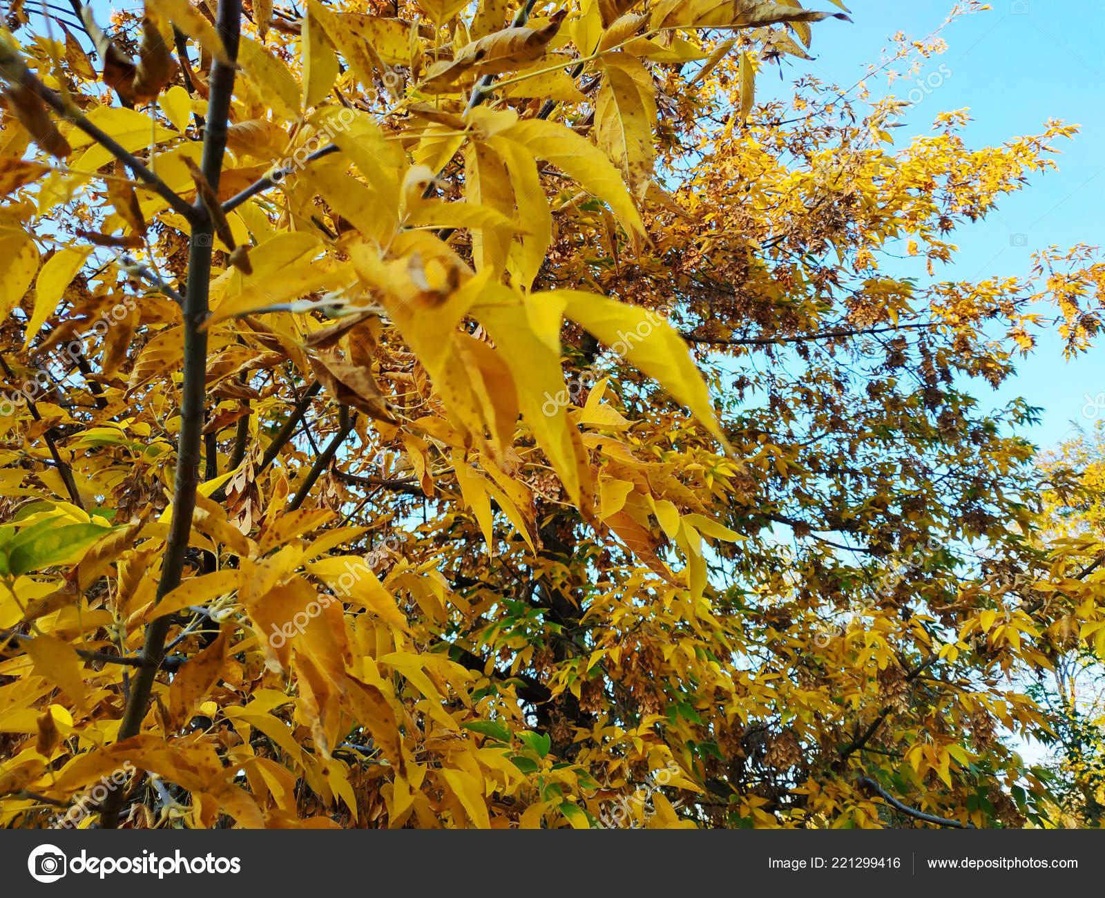 Листья золотистого цвета