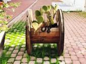 Tüskés körte gyümölcs. Sabres, fából készült tekercs kaktusz Opuntia ficus-indica faj gyümölcse