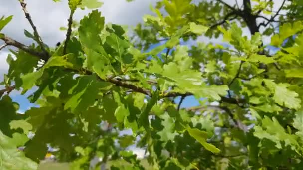 Green bright young oak leaves in sunlight