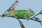 chameleon jemenský (chamaeleo calyptratus)
