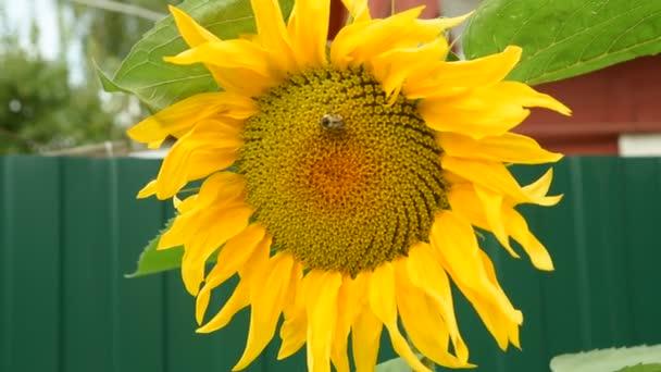 Napraforgó, a méh, imbolygott a szélben