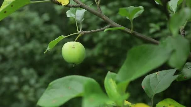 Fiatal alma a fán. Érett alma egy fán. Szaftos alma a faágon