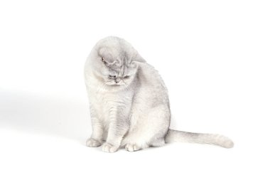 British Lorthair smoky cat isolated on white is sitting and watching.
