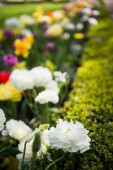 Photo close up view of beautiful ranunculus flowers in park