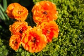 Photo top view of beautiful orange ranunculus flowers with green leaves background