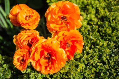 top view of beautiful orange ranunculus flowers with green leaves background