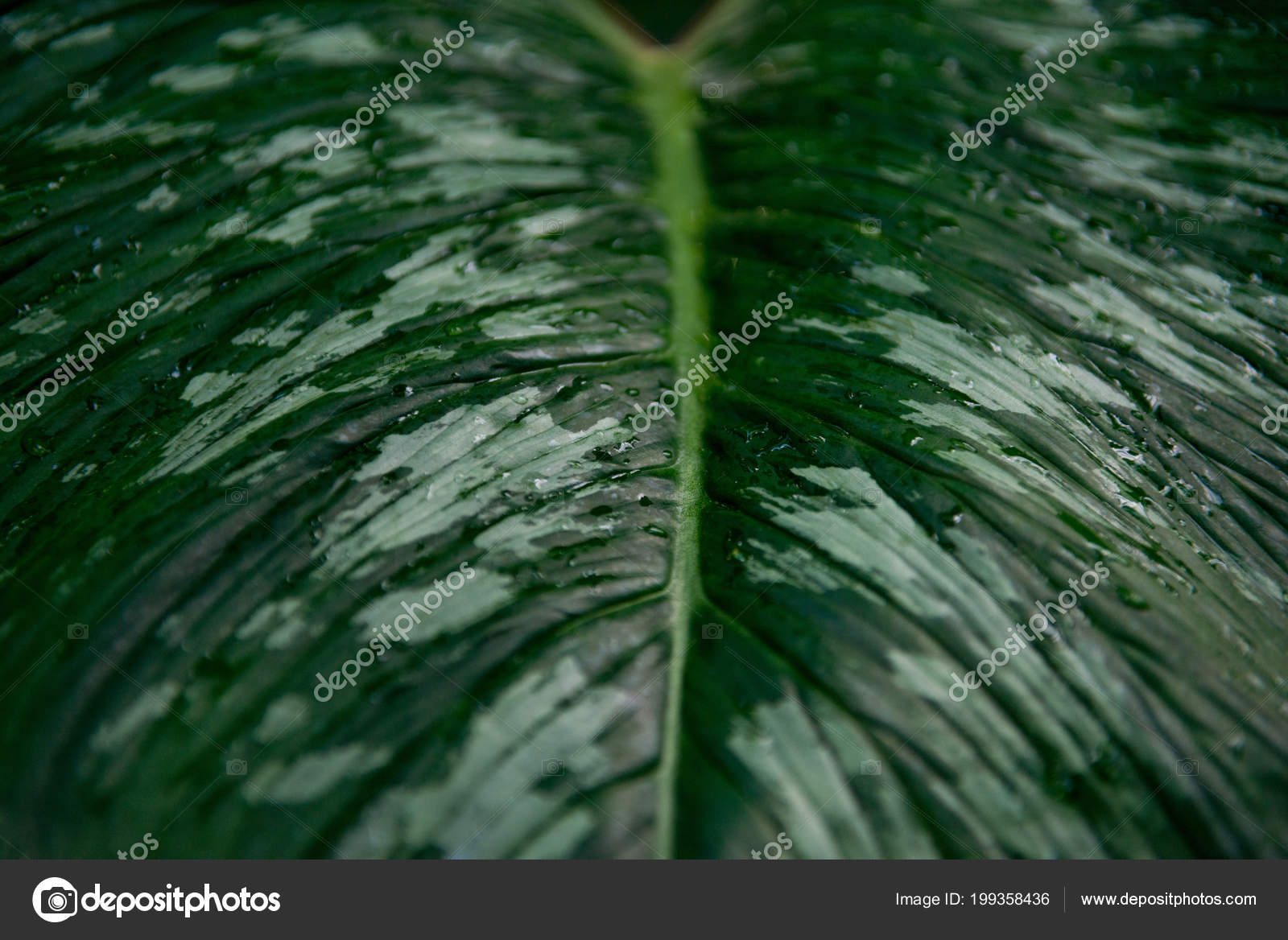 Imagen Fotograma Completo Hojas Anthurium Con Agua Gotas — Foto de ...