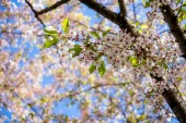 beautiful blossoming cherry tree branches against blue sky at sunny day, selective focus