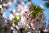 Photo selective focus of flowers on branches of cherry blossom tree