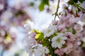 close up view of flowers on branches of cherry blossom tree