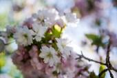 Fotografie Selektivní fokus květin na větve stromu o třešňový květ