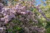 Fotografie cherry blossom tree with flowers on branches in botanical garden