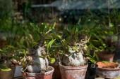 Fotografie Selektivní fokus adenium rostlin v botanické zahradě