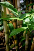 selective focus of green leaves of bamboo trees with sunlight
