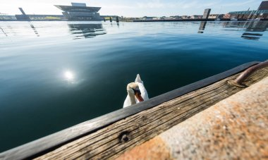 beautiful white swan floating on water near embankment in copenhagen, denmark