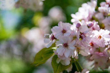 selective focus of cherry blossom flowers on blurred background