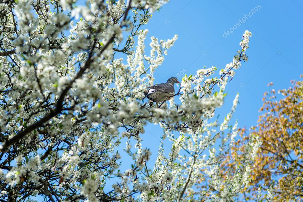 Pigeon sitting on branch with flowers of cherry blossom tree in botanical garden stock vector