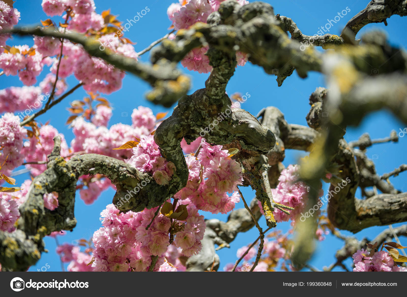 Branches sakura tree pink flowers bright blue sky stock photo branches of sakura tree with pink flowers against bright blue sky photo by viktoriasapatabo mightylinksfo