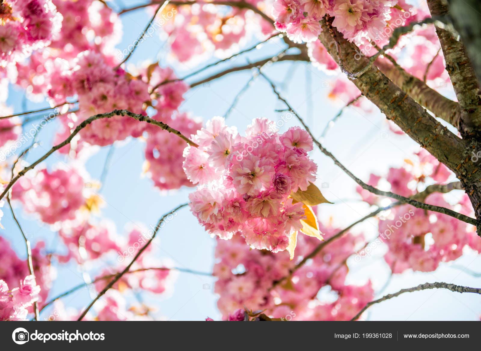 faible angle vue fleurs roses sur les branches arbre fleur