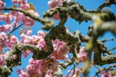Fotografie branches of sakura tree with pink flowers against bright blue sky