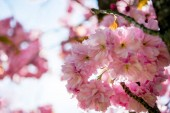 Photo close up view of pink flowers on branches of cherry blossom tree