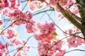 alacsony, szög, kilátás a rózsaszín virágok a cseresznyevirág ágait