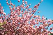 nízký úhel pohledu sakura stromu proti jasně modré obloze bez mráčku